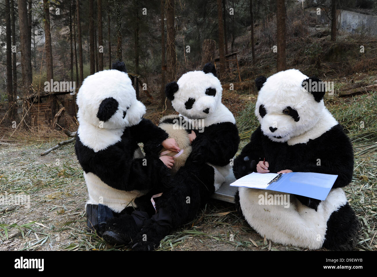 Captive Panda Research Researchers Dressed As Pandas Look After A Stock Photo Alamy