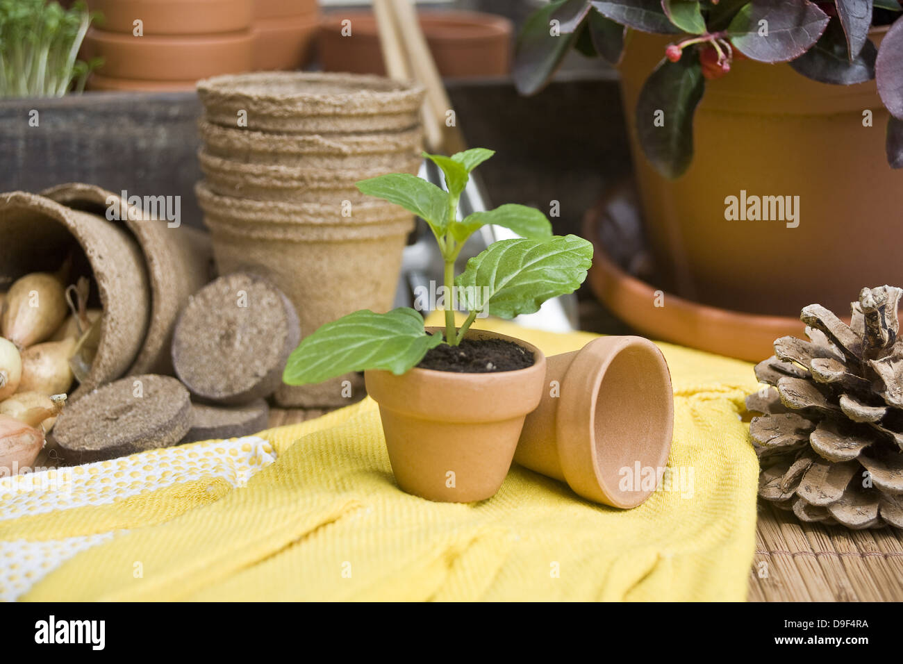 Setzling in a flowerpot with gloves Seedling in a pot with gloves - Stock Image