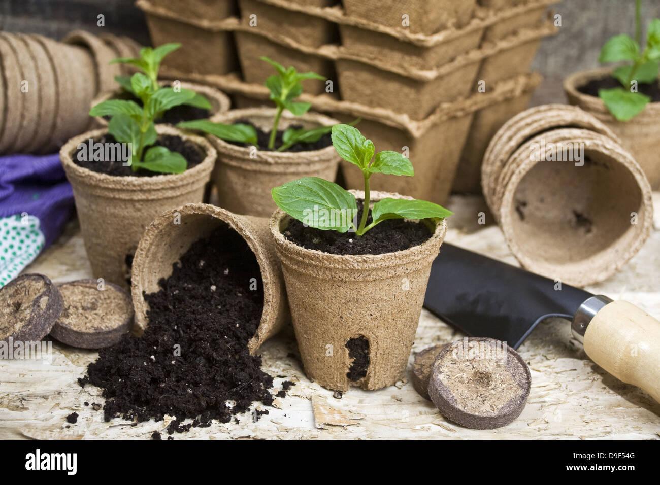 Setzlinge with flowerpot and garden utensils Saplings with flower pot and guards of utensil - Stock Image