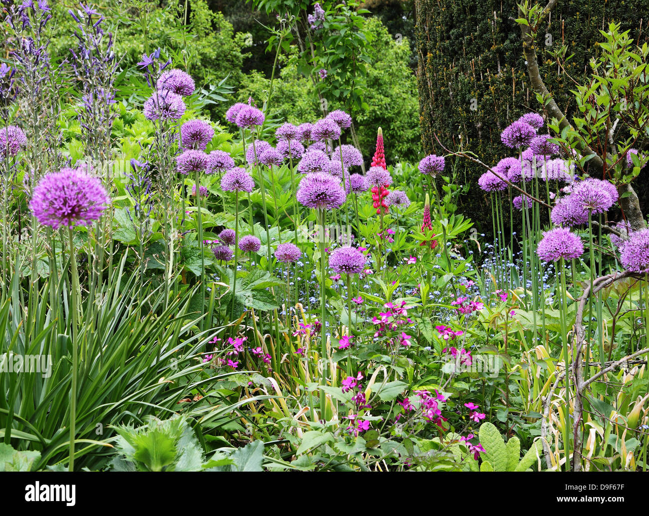 Close up of a Purple Allium Flowers in a garden border - Stock Image