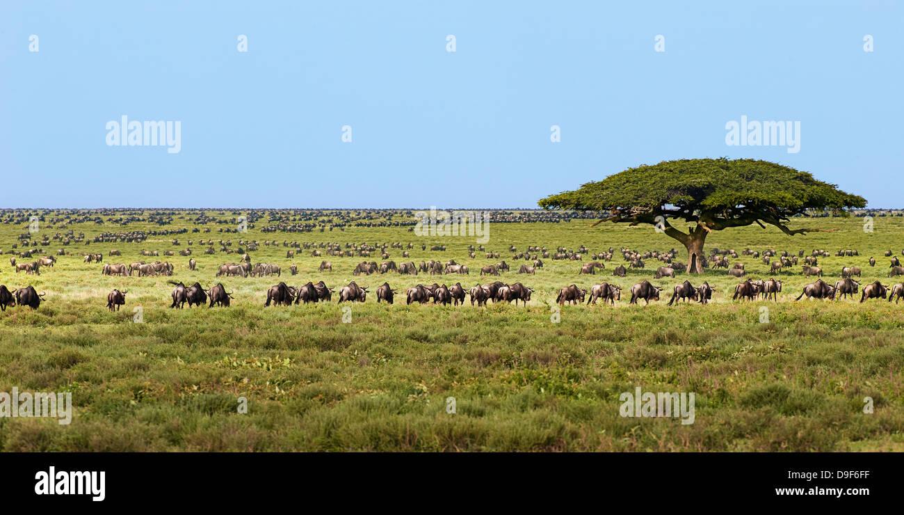 Iconic Serengeti landscape, Wildebeest Migration east africa, Serengeti Ecosystem, Tanzania - Stock Image