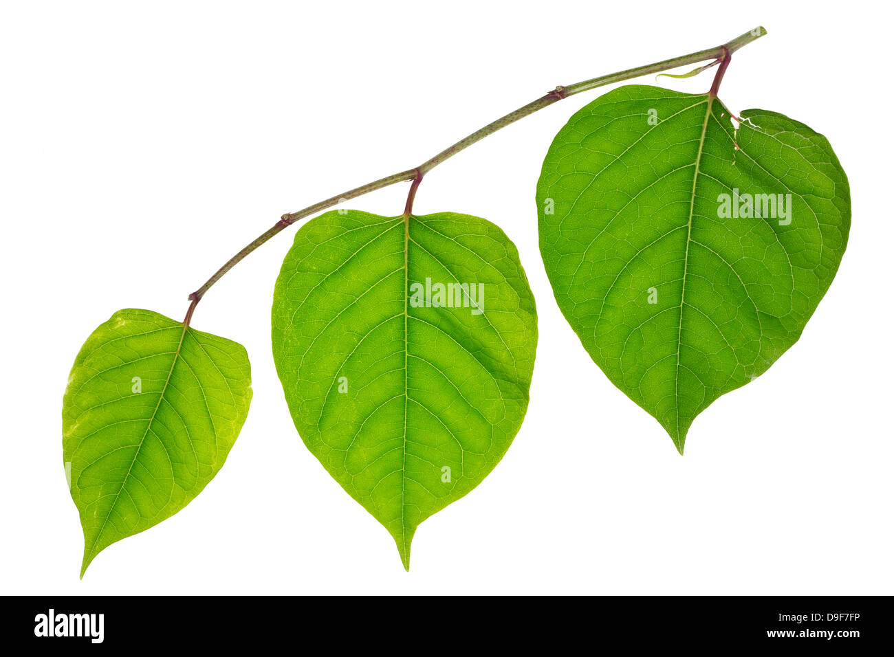 Three lonely green darlings hearts isolated. Youth, maturity courage and old age concept - Stock Image