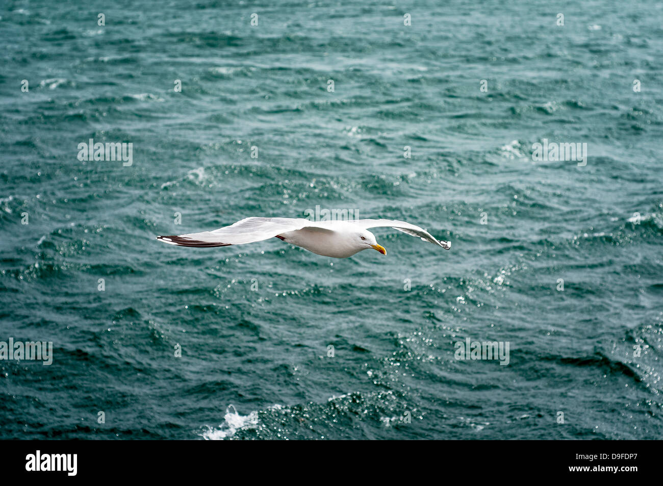 Seagull with extended wings gliding over water - Stock Image