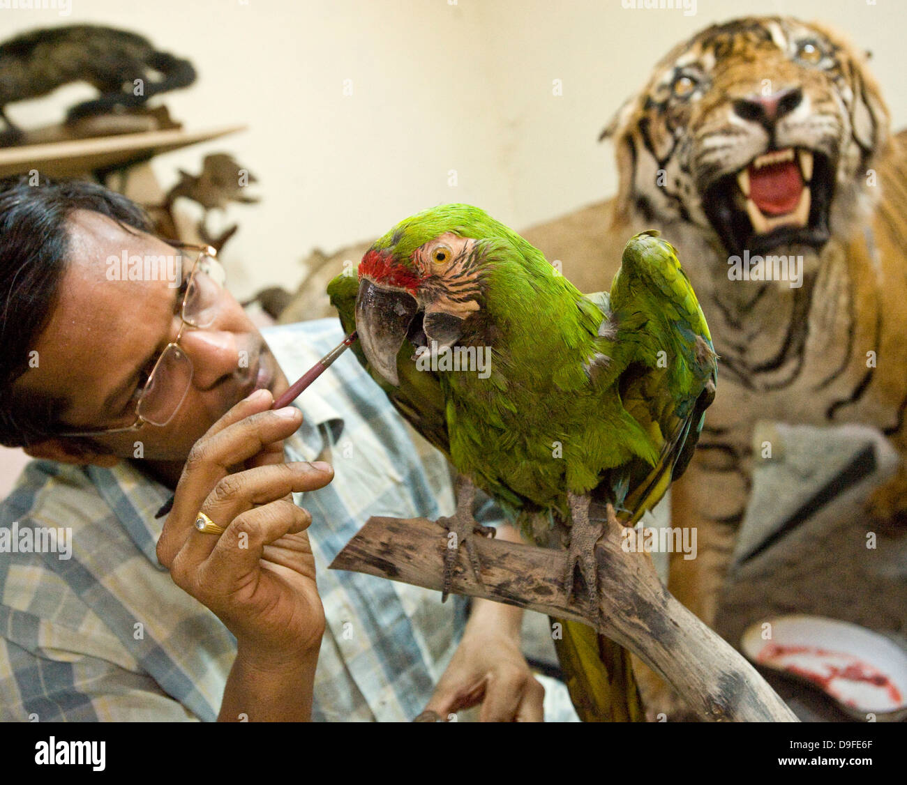 Military Macaw ........................... Dr Santosh Gaikwad and Taxidermy Centre , Sanjay Ghandi National Park, - Stock Image