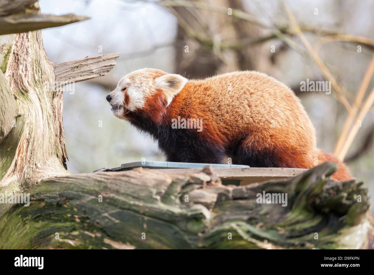 Red panda, Cotswold Wildlife Park, Costswolds, Gloucestershire, England, UK - Stock Image