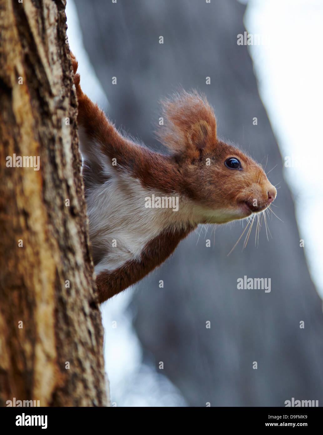 Red squirrel in Parque del Retiro, Madrid, Spain Stock Photo