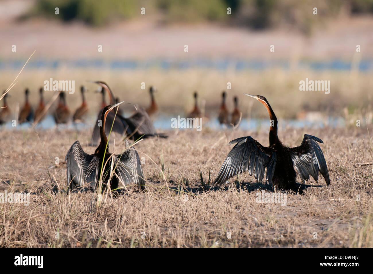 African darter (Anhinga rufa), Chobe National Park, Botswana, Africa - Stock Image