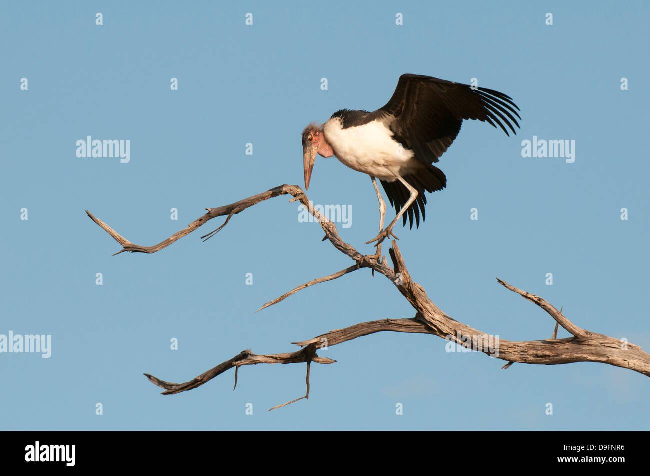 Marabou stork (Leptoptilos crumeniferus), Chobe National Park, Botswana, Africa - Stock Image