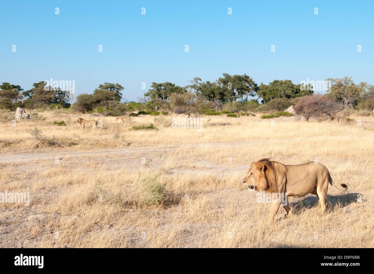 Lions (Panthera leo), Chief Island, Moremi Game Reserve, Okavango Delta, Botswana, Africa - Stock Image