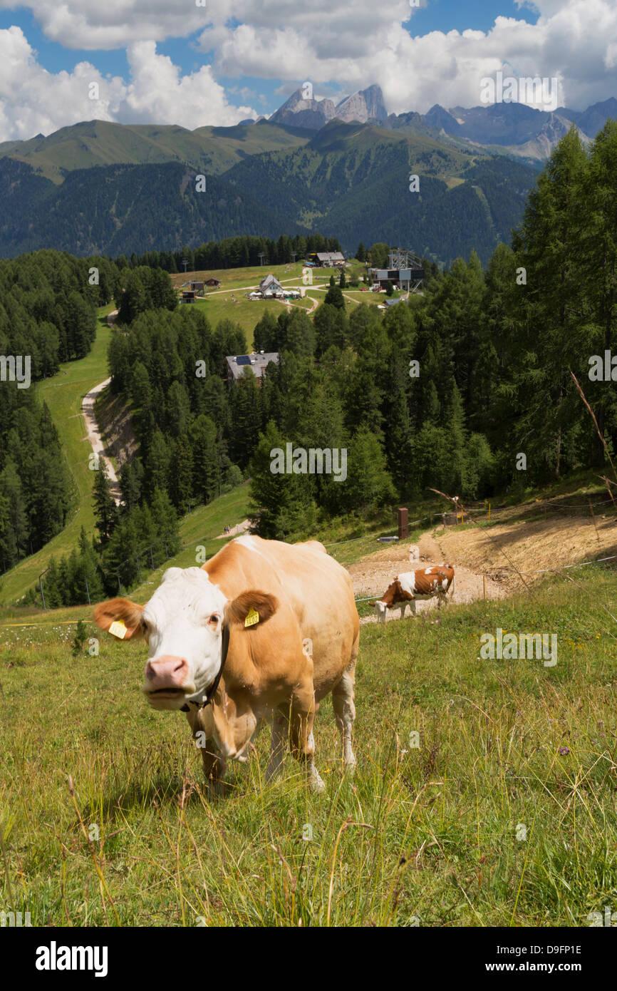 Cows grazing near the Rosengarten Mountains in the Dolomites near Canazei, Trentino-Alto Adige, Italy Stock Photo