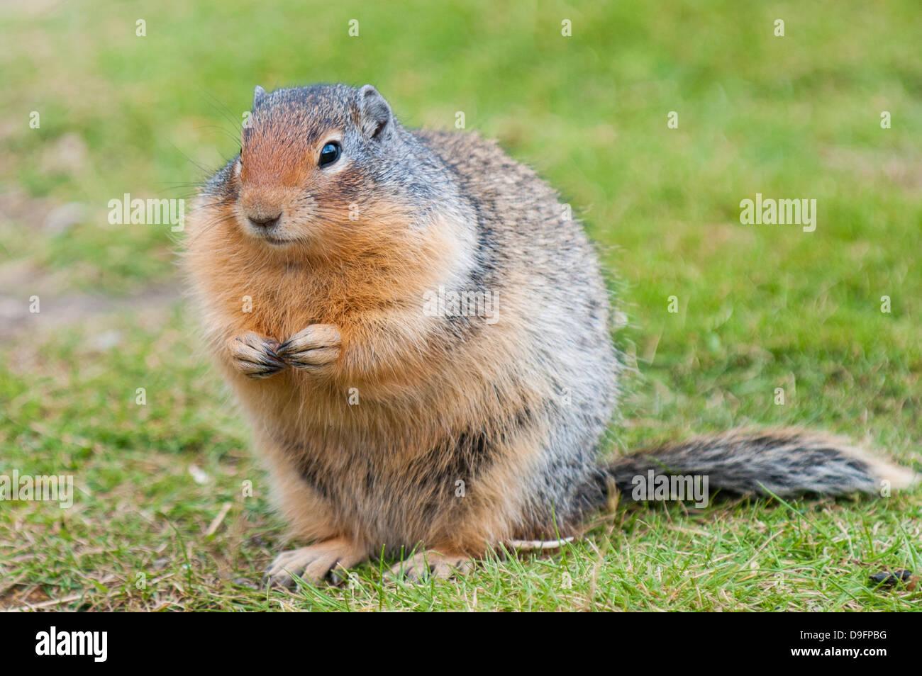 Columbian ground squirrel (Spermophilus columbianus), Barkersville, British Columbia, Canada Stock Photo