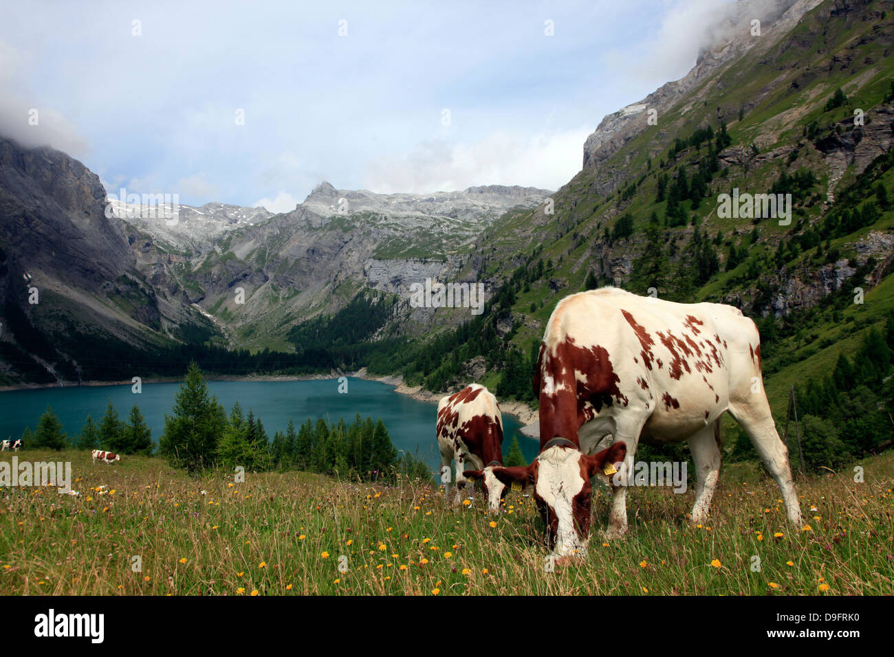 Cows grazing in the meadow above Rawyl reservoir, Valais region, Swiss Alps, western Switzerland Stock Photo