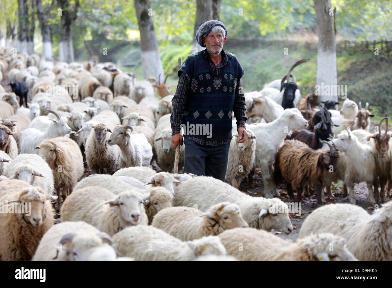 Shepherd and flock in Sheki province, Azerbaijan, Central Asia - Stock Image