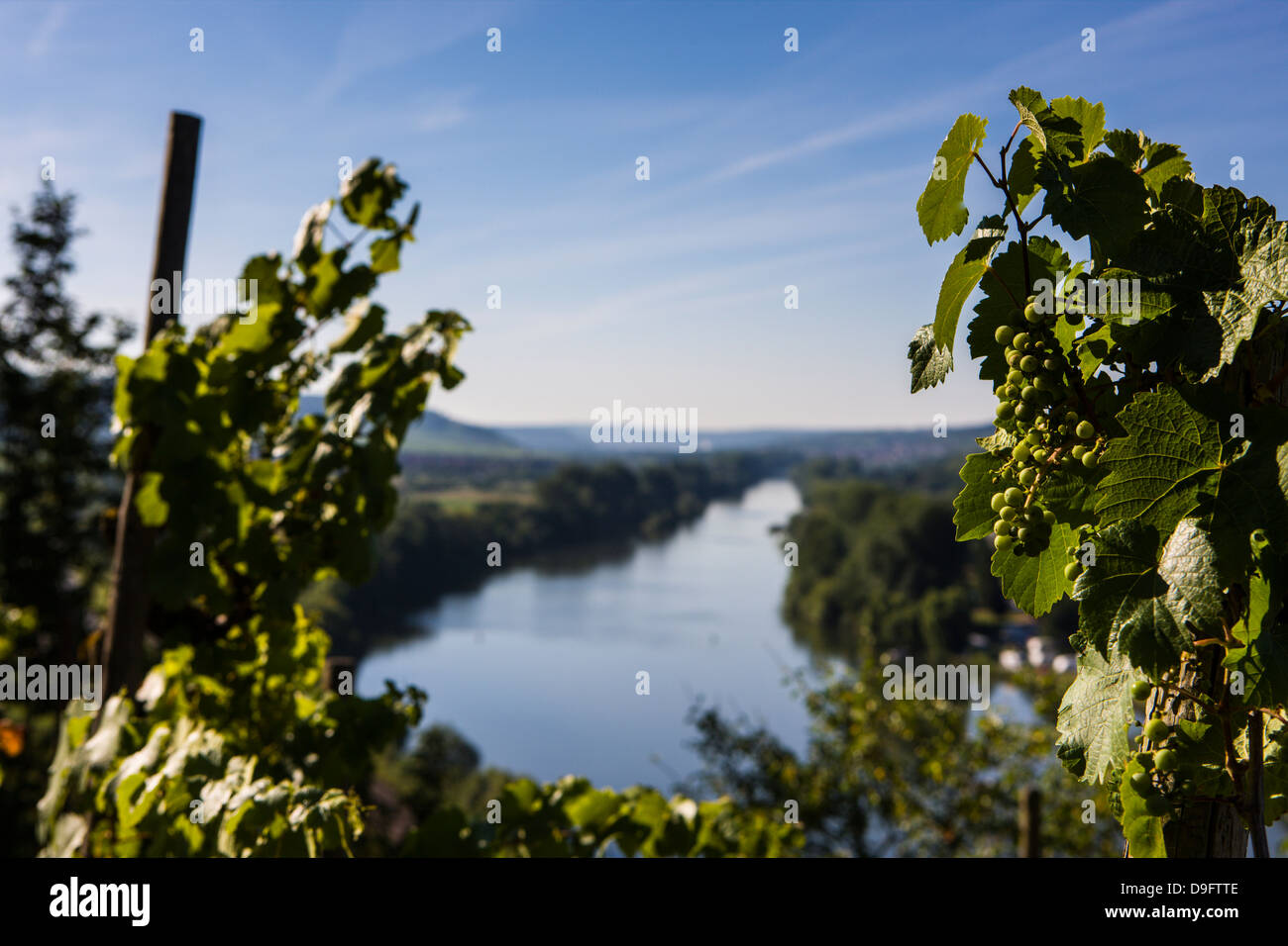 Vines above the Main valley, Franconia, Bavaria, Germany - Stock Image