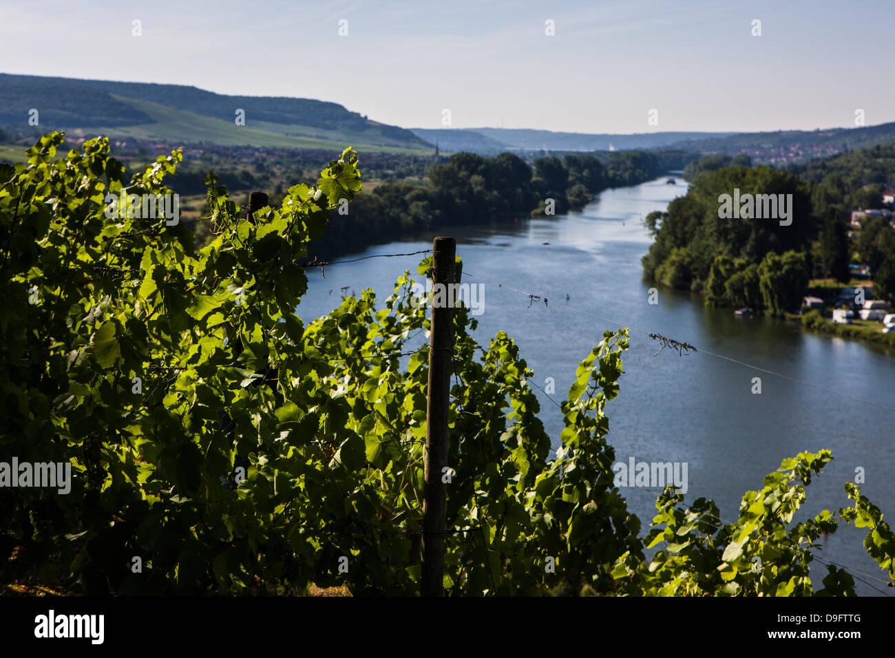 Vines above the Main valley, Franconia, Bavaria, Germany - Stock Image
