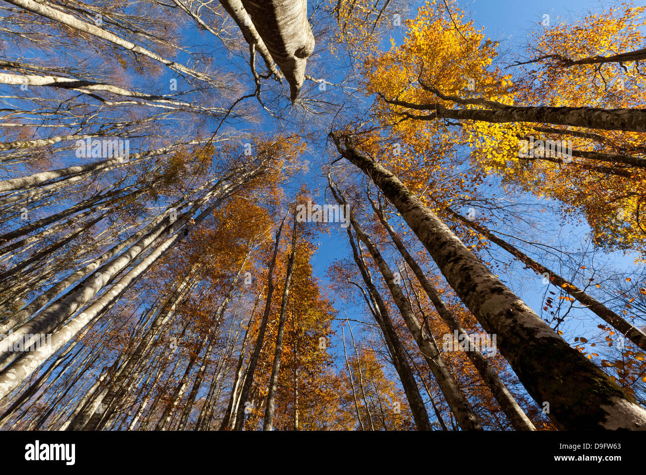 Alpago beech forest in autumn, Belluno, Veneto, Italy - Stock Image