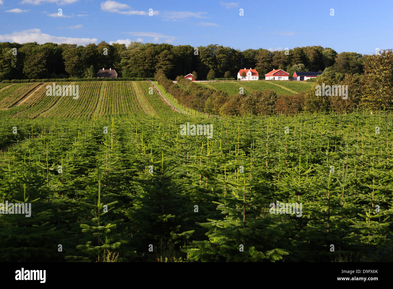 Norway spruce (Christmas tree) plantation, Ry, Lake District, Jutland, Denmark, Scandinavia - Stock Image