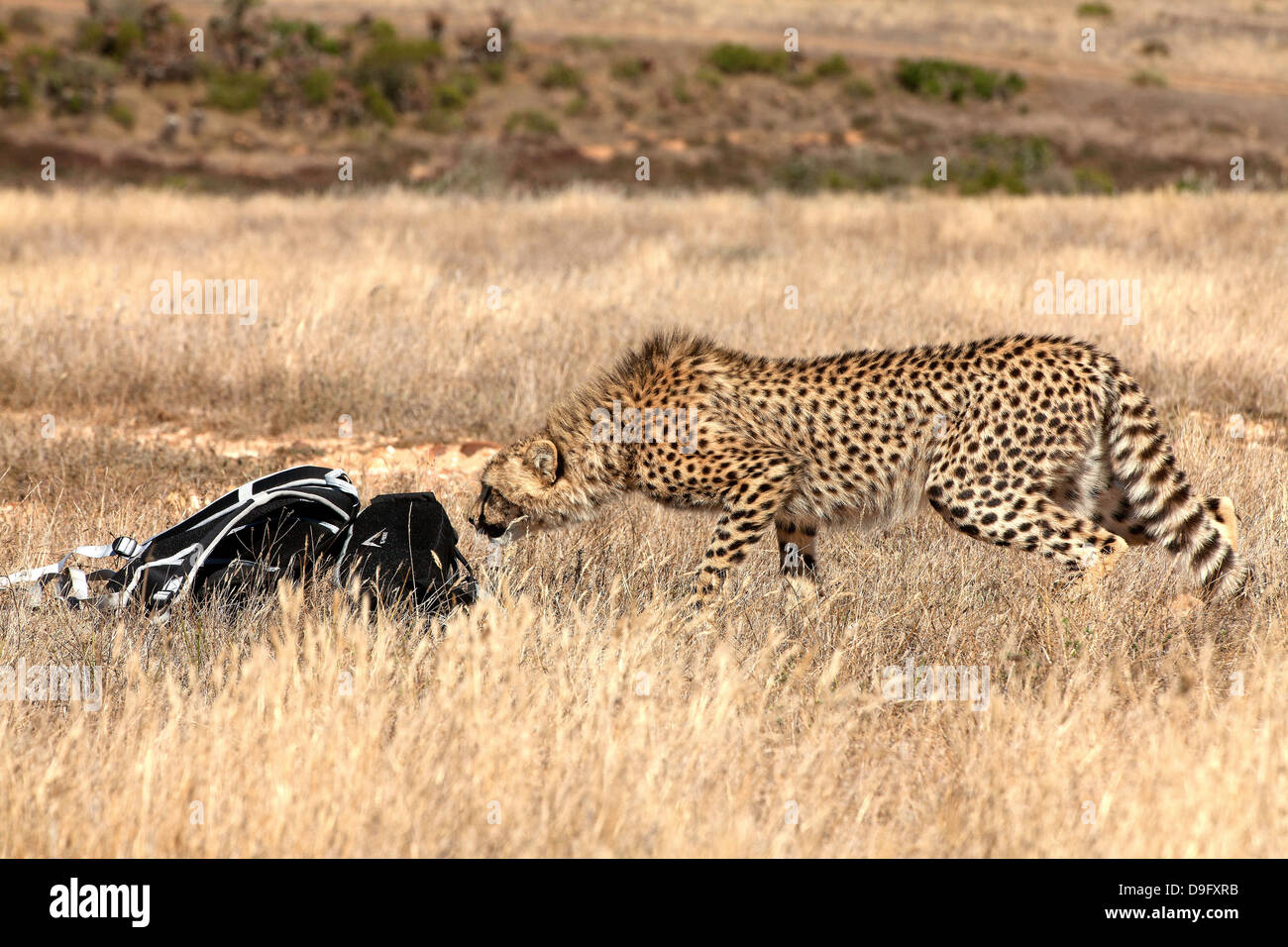 Curious cheetah sniffing at nature lover's backpack, Western Cape, South Africa, Africa - Stock Image