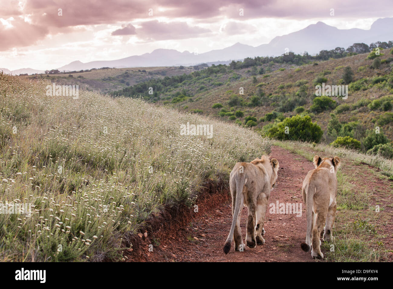 Two lions walking off into sunset on a dirt road depicting togetherness and friendship, Western Cape, South Africa, - Stock Image