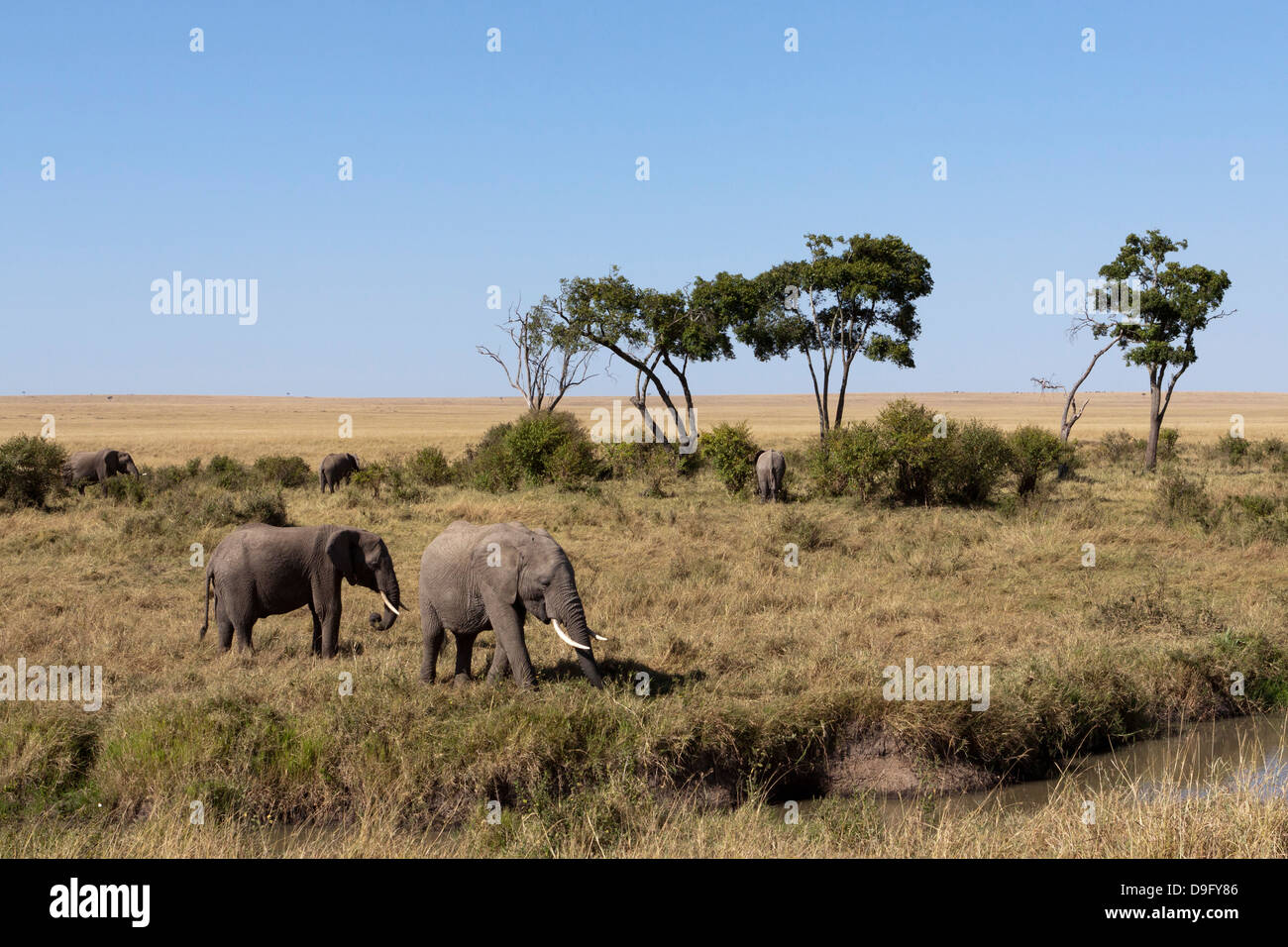 A herd of African elephants (Loxodonta africana) at a watering hole, Masai Mara, Kenya - Stock Image