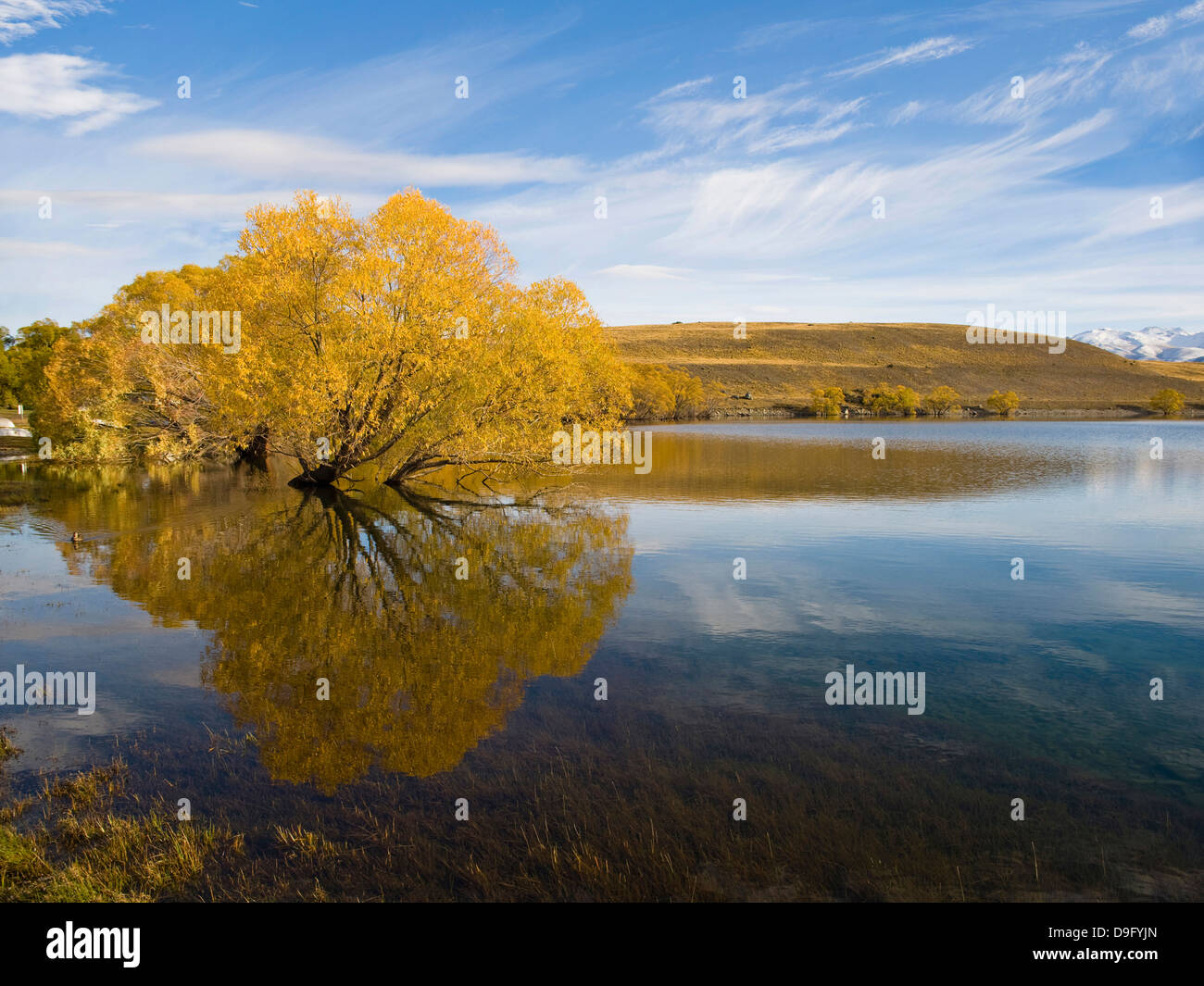 Autumn trees reflected in the still morning water, Lake Alexandrina, Canterbury  Region, South Island, New Zealand - Stock Image