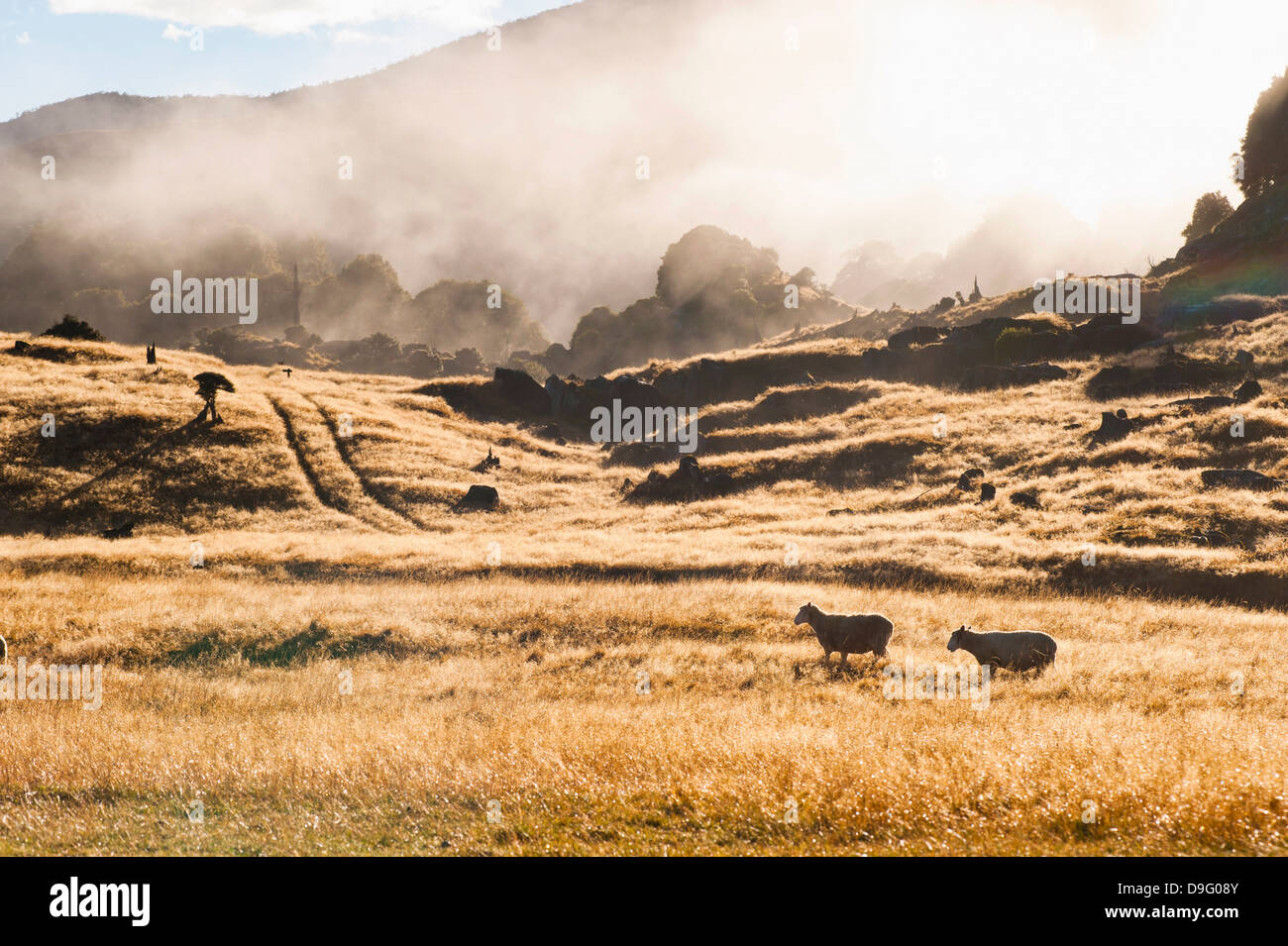 Canaan Downs Scenic Reserve at sunrise, Abel Tasman National Park, South Island, New Zealand - Stock Image