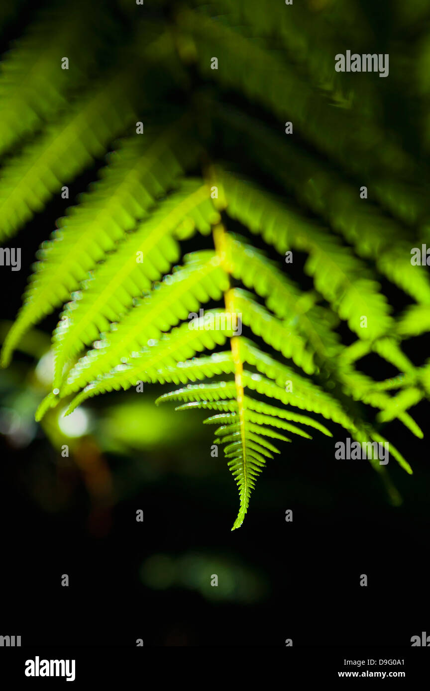 Fern in the tropical rainforest surrounding Pupu Springs, Golden Bay, Tasman Region, South Island, New Zealand - Stock Image