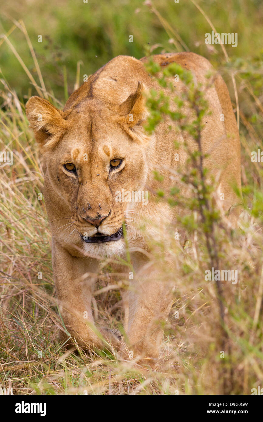 Lion Stalking Stock Photos & Lion Stalking Stock Images ...