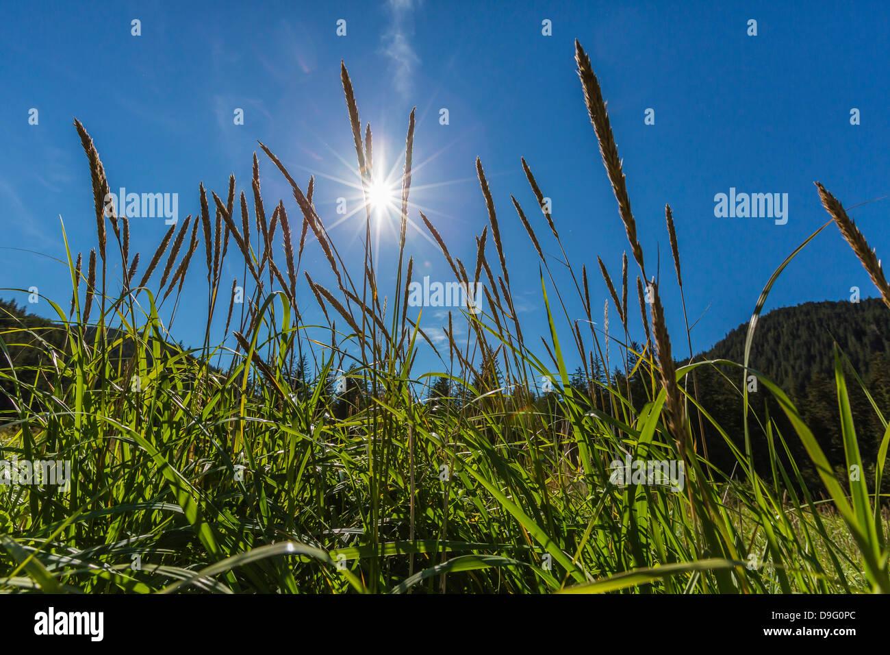 Sun shining through grass on Chichagof Island, Southeast Alaska, USA - Stock Image