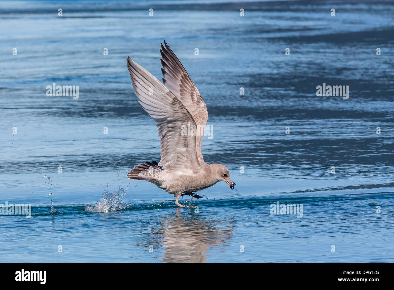 Juvenile glaucous-winged gull (Larus glaucescens), Inian Pass, Southeast Alaska, USA - Stock Image