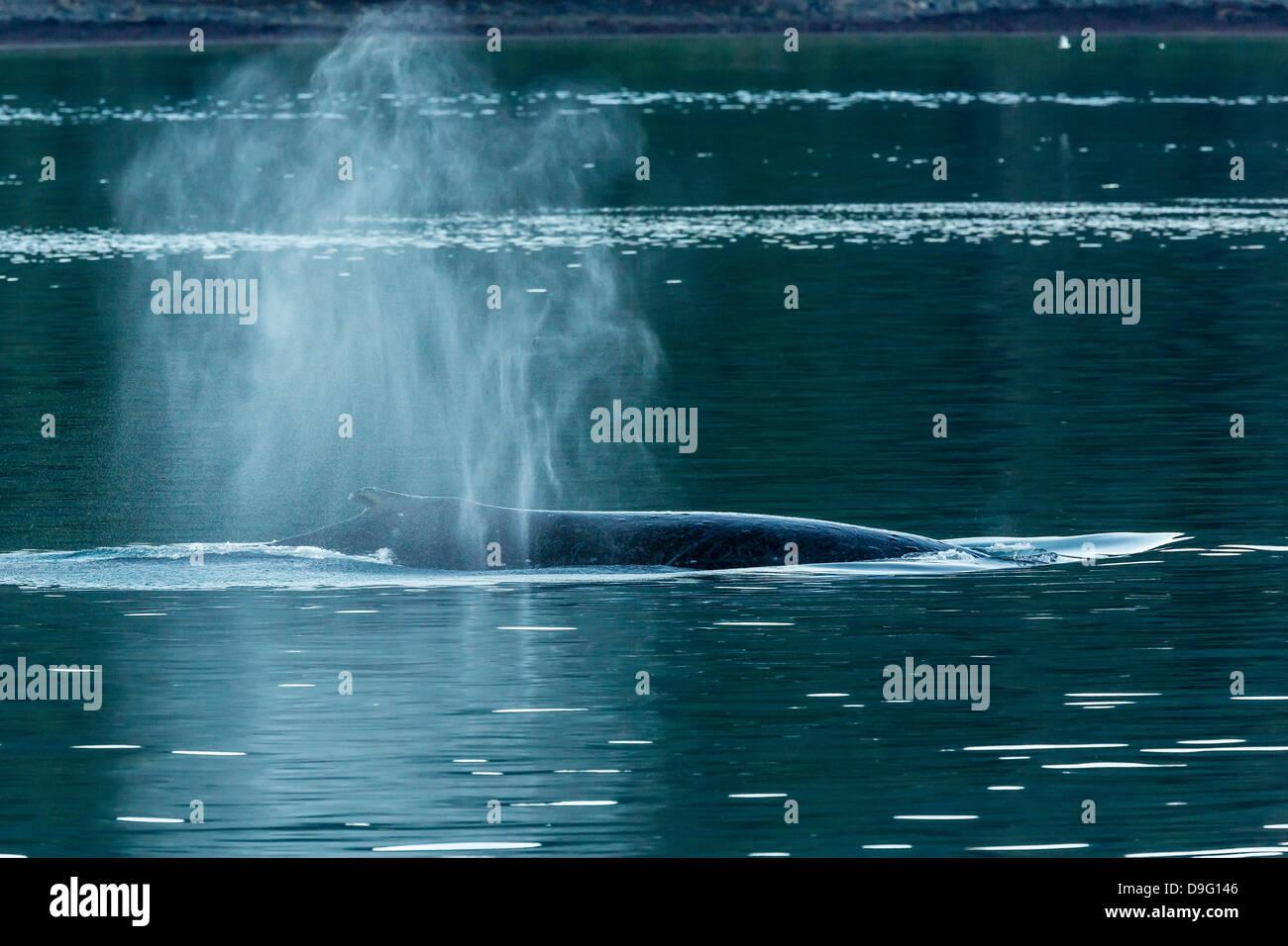 Adult humpback whale (Megaptera novaeangliae) flukes-up dive, Snow Pass, Southeast Alaska, USA Stock Photo