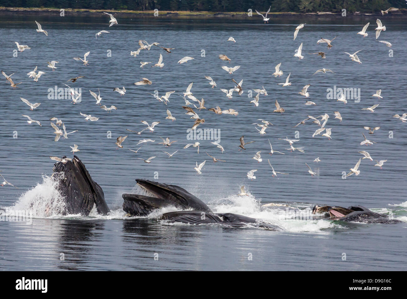Adult humpback whales (Megaptera novaeangliae) co-operatively bubble-net feeding, Snow Pass, Southeast Alaska, USA - Stock Image
