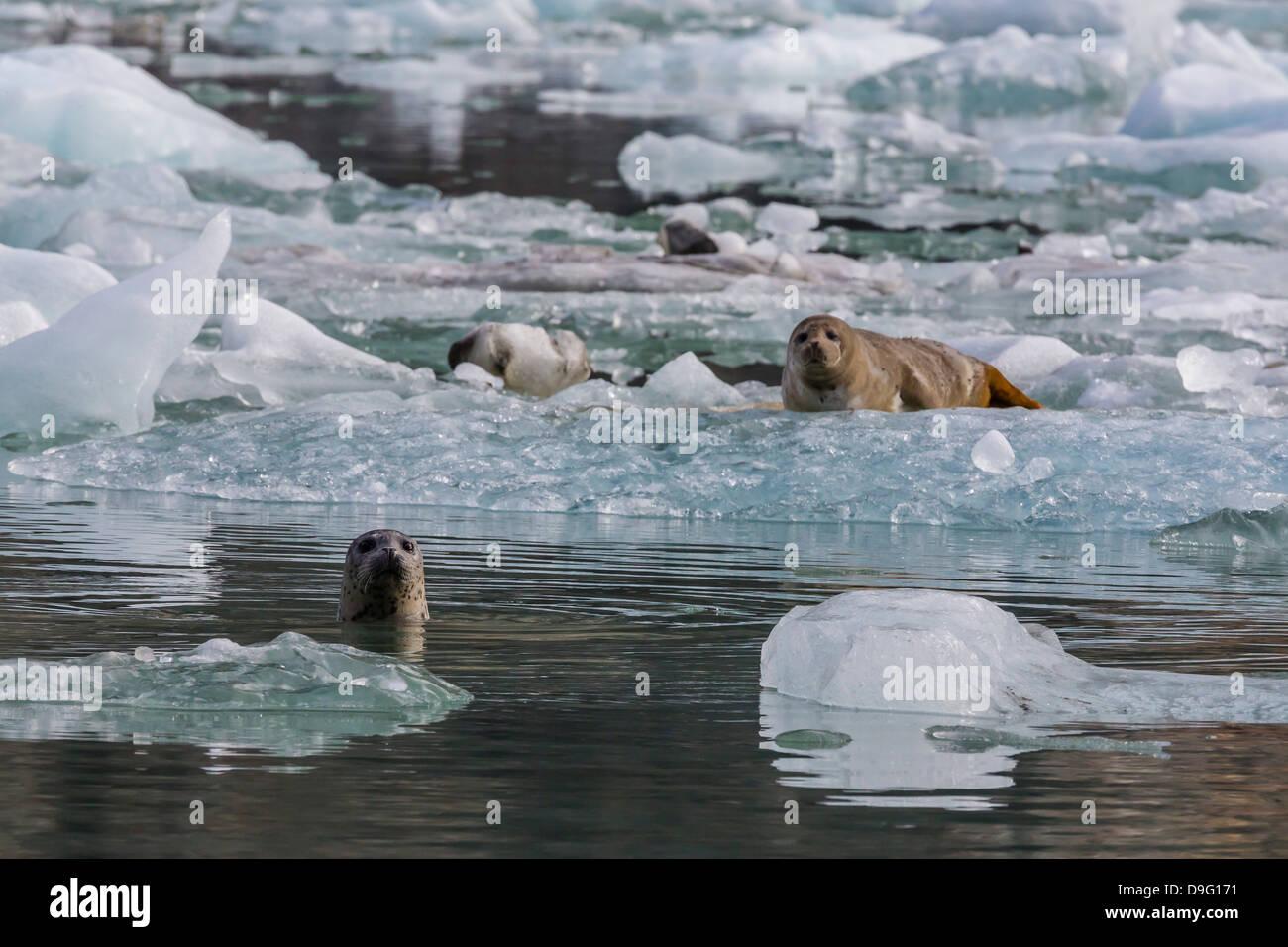 Harbour seal (Phoca vitulina), South Sawyer Glacier, Tracy Arm-Ford's Terror Wilderness area, Southeast Alaska, - Stock Image