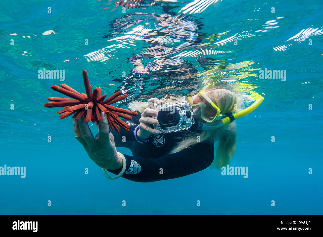 Snorkeler taking photo of urchin underwater off Maui, Hawaii, United States of America - Stock Image