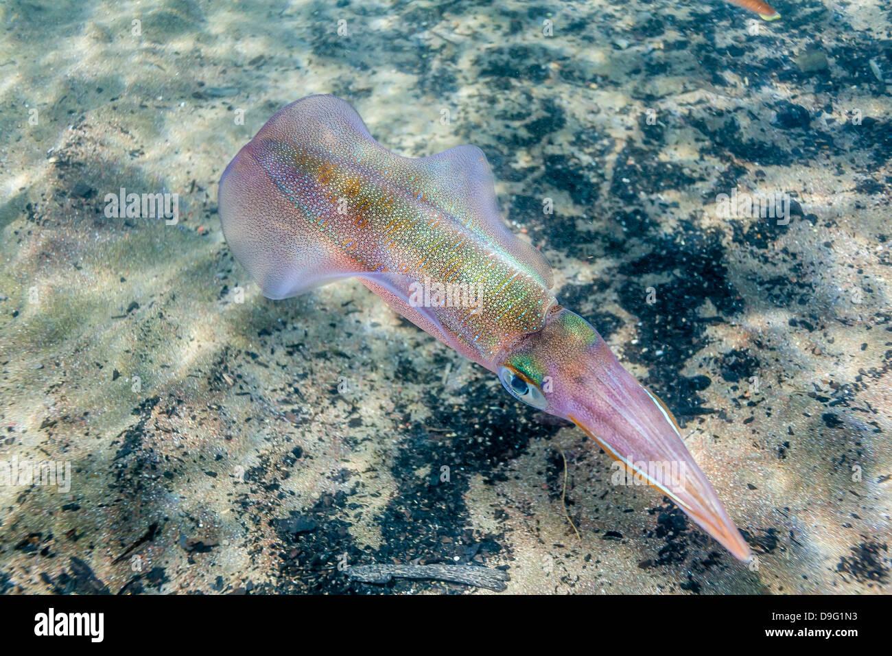 Oval squid (Sepioteuthis lessoniana), Honolua Bay, West Maui, Hawaii, United States of America - Stock Image