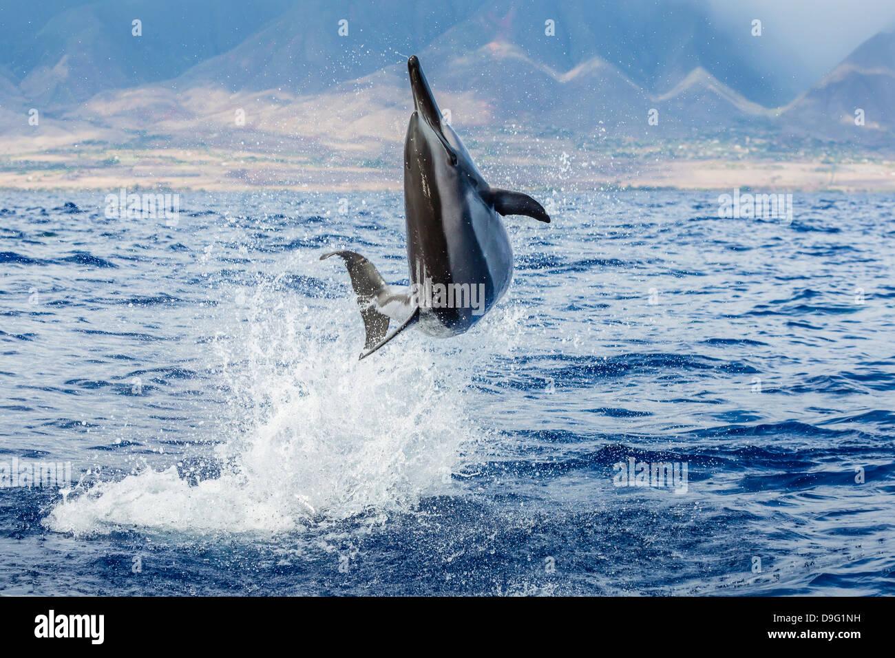 Hawaiian spinner dolphin (Stenella longirostris), AuAu Channel, Maui, Hawaii, United States of America - Stock Image