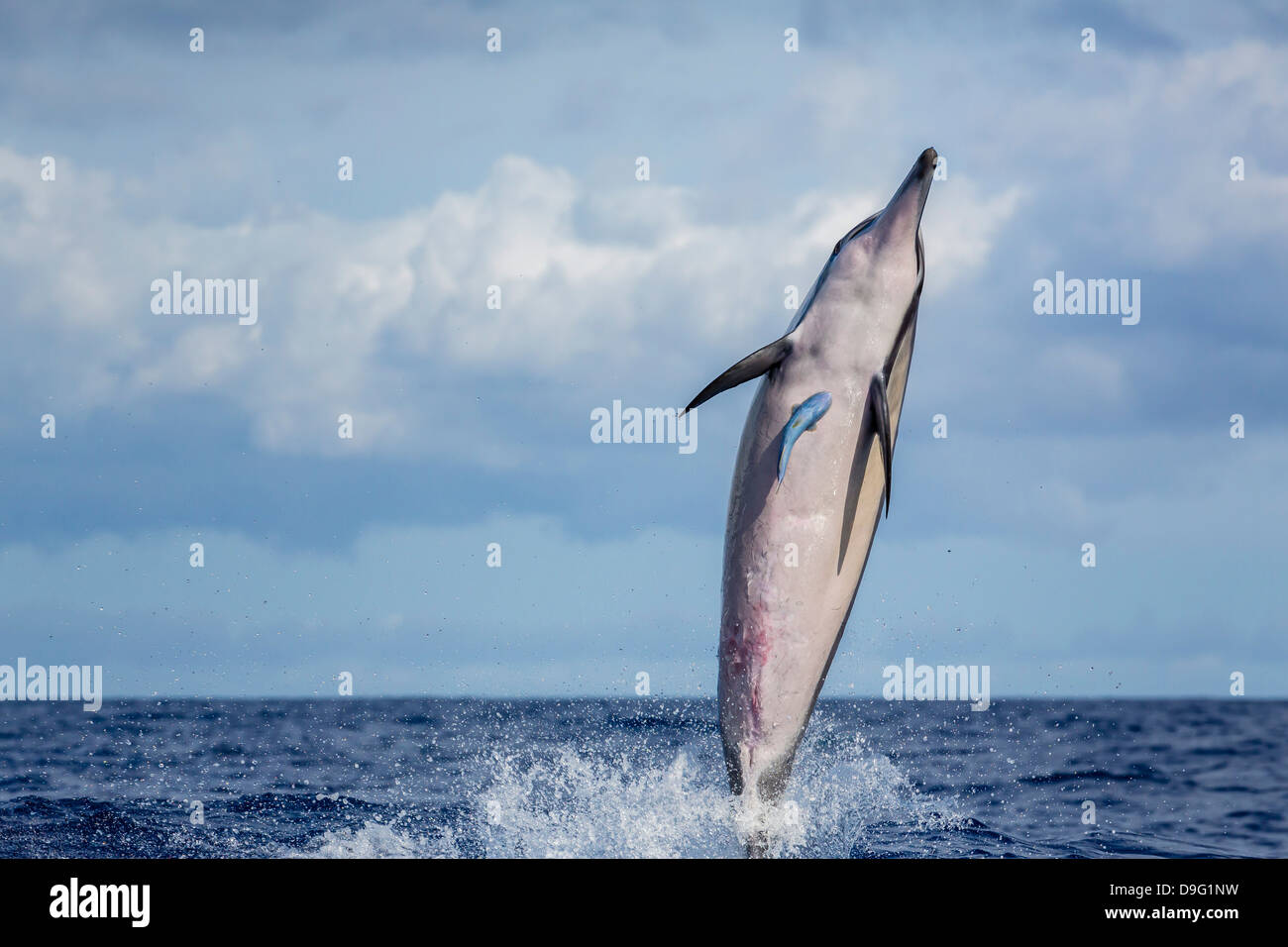 Hawaiian spinner dolphin (Stenella longirostris), AuAu Channel, Maui, Hawaii, United States of America - Stock Image