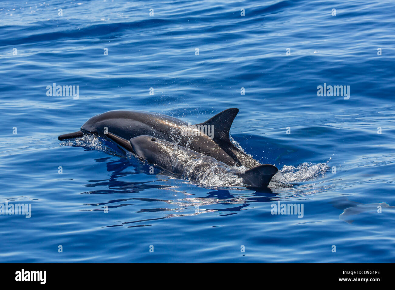 Hawaiian spinner dolphins (Stenella longirostris), AuAu Channel, Maui, Hawaii, United States of America - Stock Image
