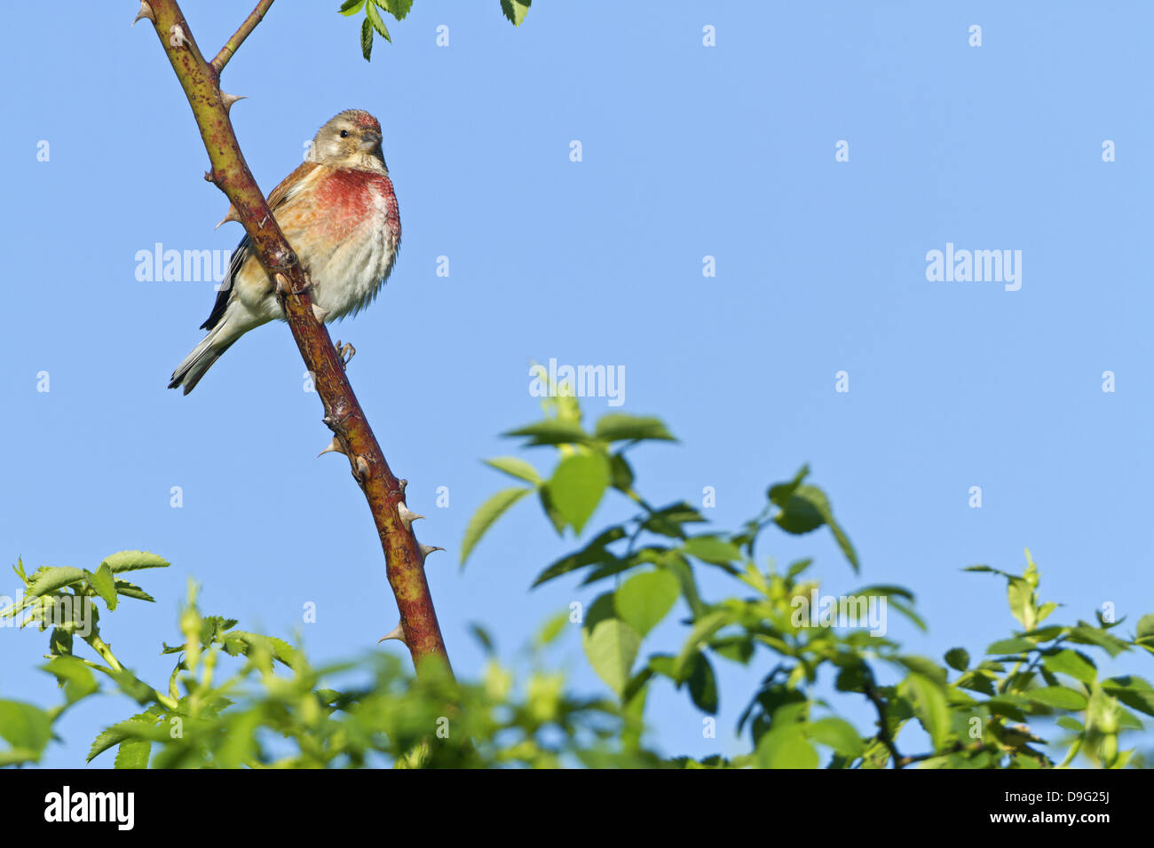 Linnet, Common Linnet, Eurasian Linnet, Carduelis cannabina, Acanthis cannabina, Bluthänfling, Hänfling, - Stock Image