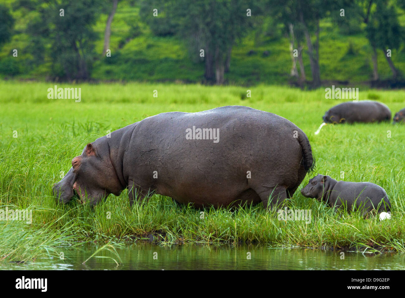 Hippopotamus and baby (Hippopotamus amphibius), and Cattle Egret, by Chobe River, Chobe National Park, Kasane, Botswana, - Stock Image