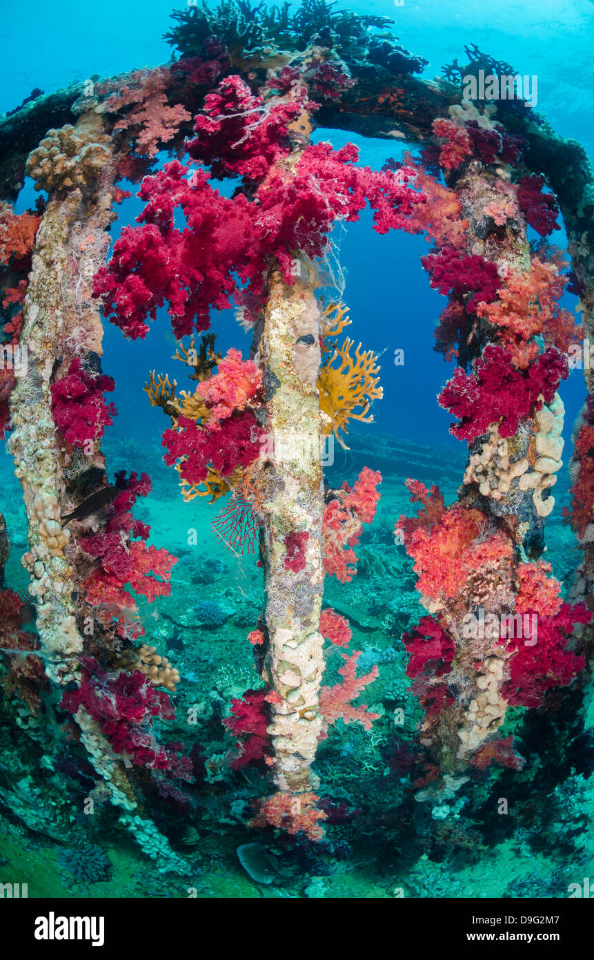 Pink, purple, soft coral growing on a sunken cargo container, Ras Mohammed National Park, Red Sea, Egypt, Africa - Stock Image