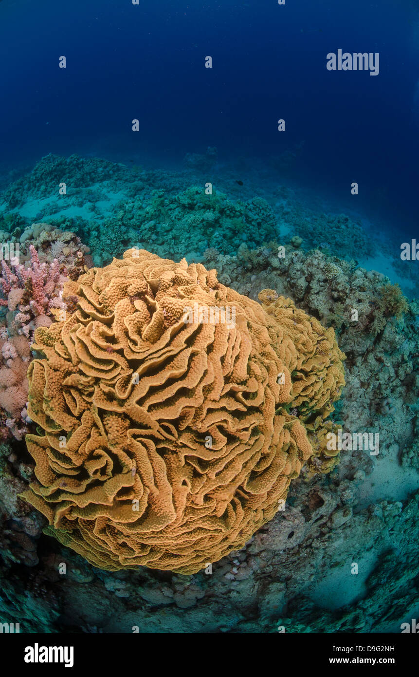 Coral reef scene, Ras Mohammed National Park, Sharm el-Sheikh, Red Sea, Egypt, Africa - Stock Image