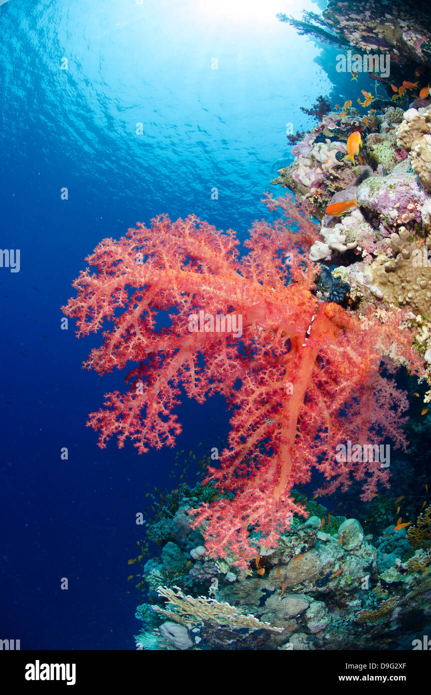 Pink soft coral, Ras Mohammed National Park, Sharm el-Sheikh, Red Sea, Egypt, Africa - Stock Image