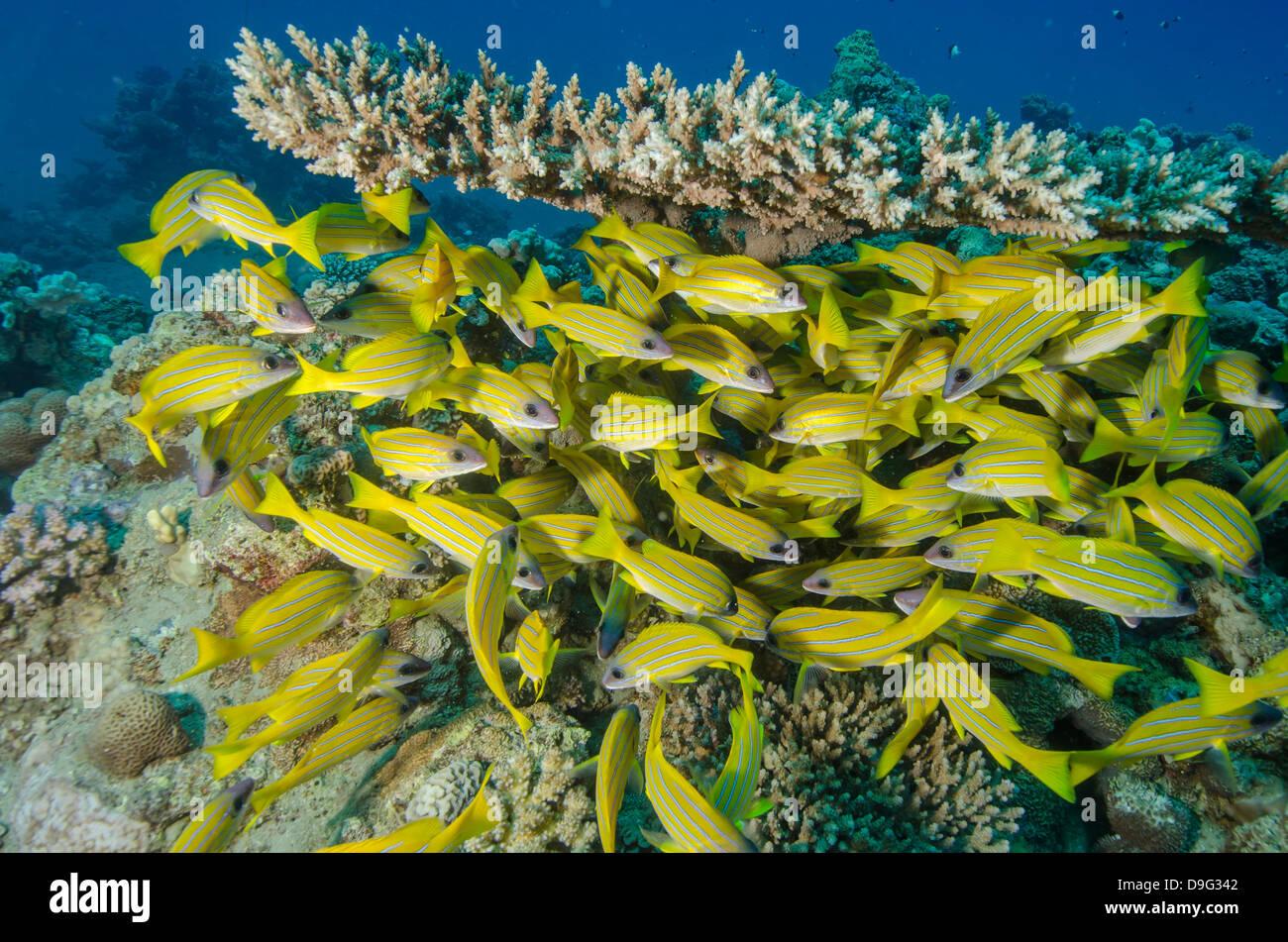 School of blue striped snapper (Lutjanus kasmira) underneath table coral, Naama Bay, Sinai, Red Sea, Egypt, Africa Stock Photo