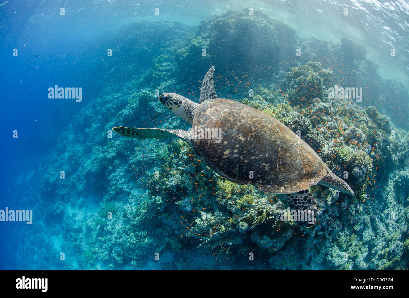 The critically endangered hawksbill turtle above coral reef, Ras Mohammed National Park, Sinai, Red Sea, Egypt, - Stock Image