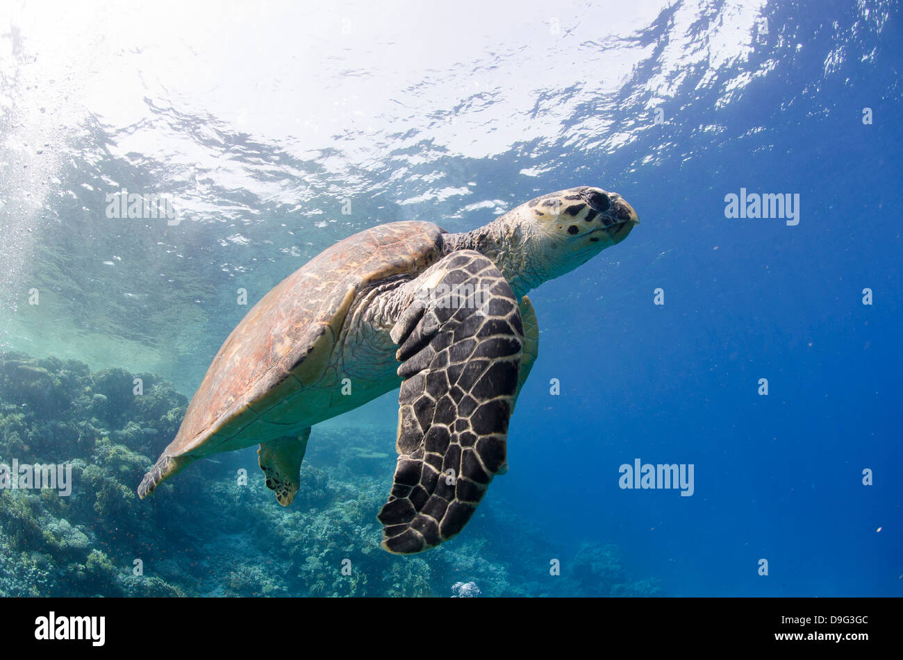 The critically endangered hawksbill turtle (Eretmochelys imbricata), Ras Mohammed National Park, Sinai, Red Sea, - Stock Image
