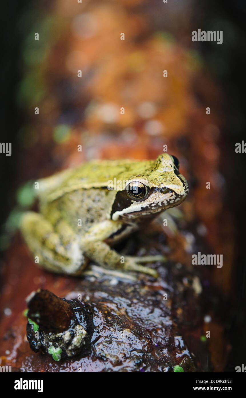 Close-up of a European common frog (Rana temporaria) sitting on a log, North Brabant, The Netherlands - Stock Image