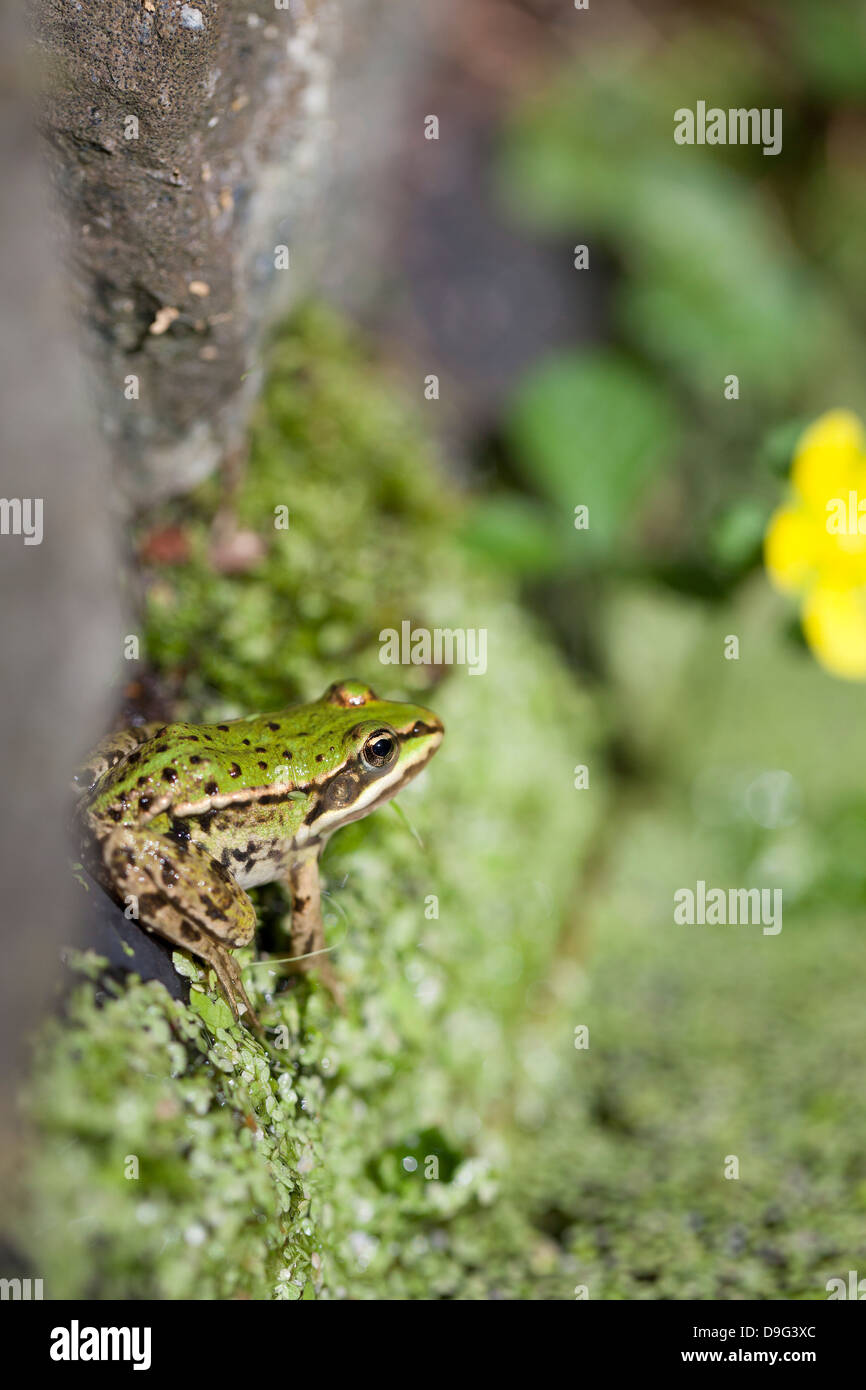 Close-up of European common frog (Rana temporaria), North Brabant, The Netherlands, (Holland). - Stock Image