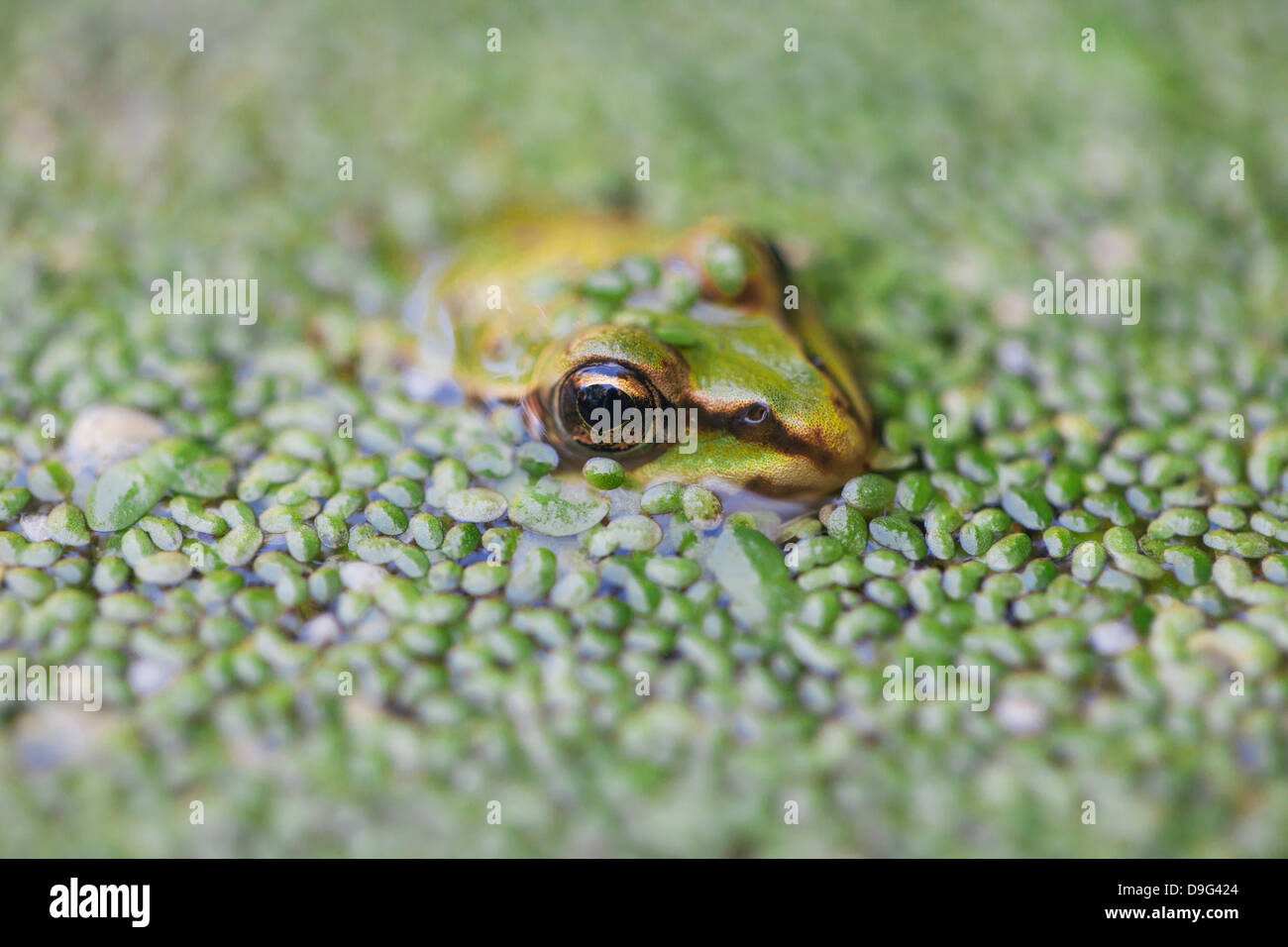 Close-up of European common frog (Rana temporaria), North Brabant, The Netherlands - Stock Image