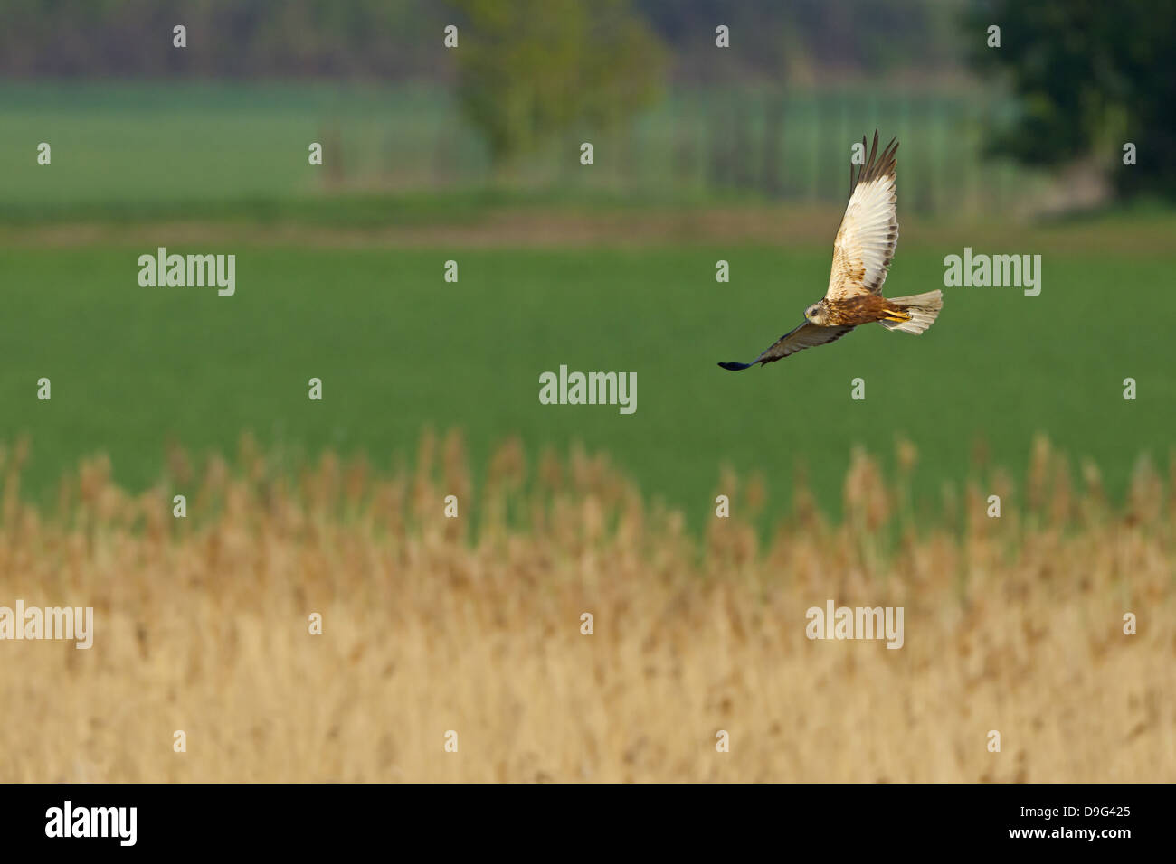 Western Marsh Harrier, Marsh Harrier, Eurasian Marsh Harrier, Western Marsh-Harrier, Circus aeruginosus, Rohrweihe Stock Photo